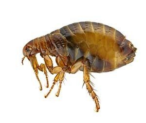 United Pest Solutions provides flea control and extermination in Seattle WA.