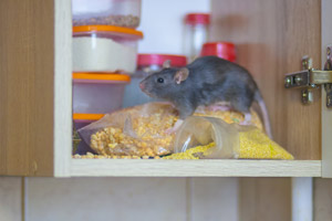Rat in a cupboard. United Pest Solutions, serving Seattle WA talks about 5 rodent control tips for winter.