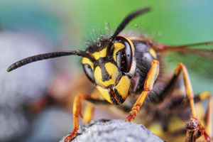 Wasp up close. United Pest Solutions, serving Seattle WA explains the differences between wasps and yellowjackets.