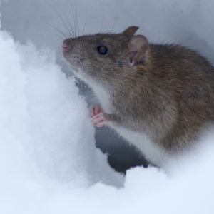 Rodent in the snow-United Pest Solutions, serving Seattle WA talks about where pests go in the winter.